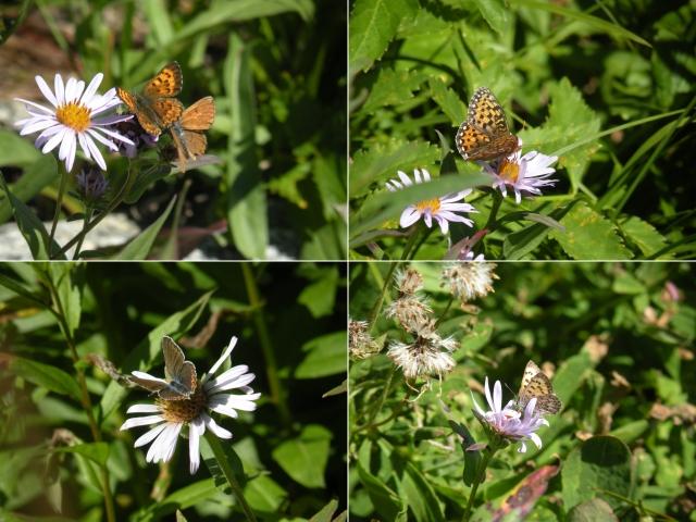 butterflies two