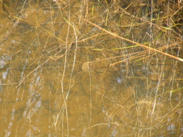 Salamander egg mass